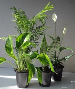 Order Plants for Your Office: Golden Pothos, Parlor Palm, Flowering Peace Lily and a Snake Plant