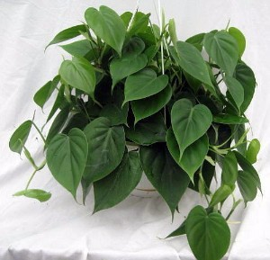 The Heart-Leaf Philodendron is Among the Best Office and Desk Plants