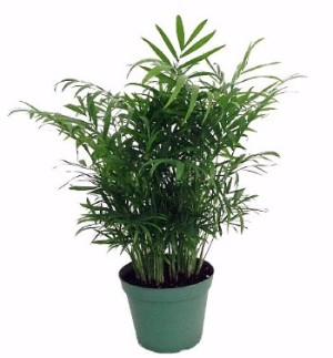 Victorian Parlor Palm - a Dramatic Palm-Leaf Office Plant