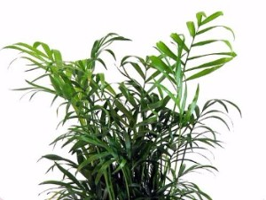 Parlor Palm Office Plant