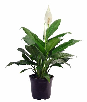 Peace Lily (Spathiphyllum) makes a Great Office Plant