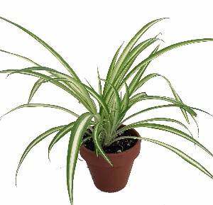 The Spider Plant is a Great Office Plant